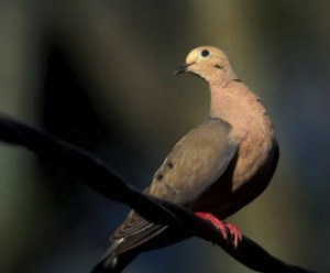 Native West Texas Dove